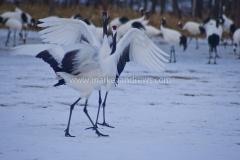 DSC_2478 Kushiro cranes61