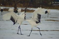 DSC_2480 Kushiro cranes63