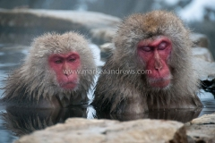 Snow monkeys-7701