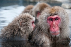 Snow monkeys-7710