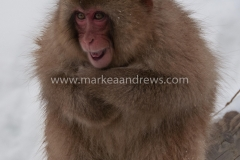 Snow monkeys-7790