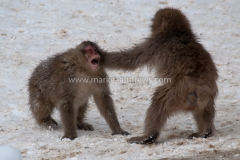 Snow monkeys-7814