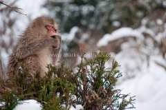 Snow monkeys-7844