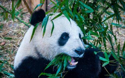 Kansai Time Out (Japan). Sichuan Safari. Travel article.